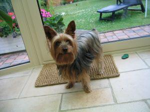 Yorkshire terrier vid ytterdörr