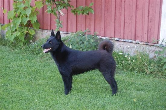 Norsk älghund, svart