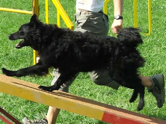 Hrvatski ovcar
