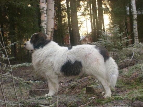 Pyreneisk mastiff