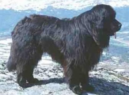 Newfoundlandshund
