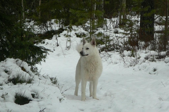 Svensk vit älghund