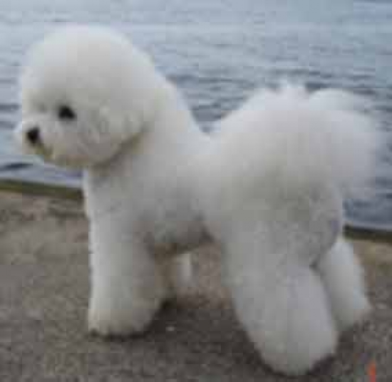bichon se usa - photo #14