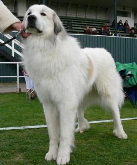 Pyrenéerhund
