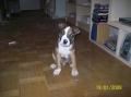 Bild på American staffordshire terrier