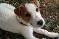 Bild på Jack russell terrier