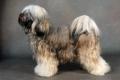 Bild på Tibetansk terrier