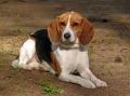 Bild på Beagle