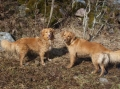 Nova scotia duck tolling retriever_2