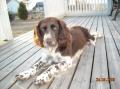 Bild på Wachtelhund