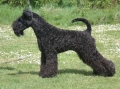 Bild på Kerry blue terrier