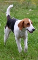 American foxhound_3