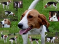 American foxhound_2