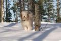 Bild på Bearded collie