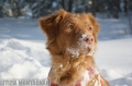 Bild på Nova scotia duck tolling retriever