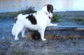 Bild på Pyreneisk mastiff