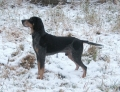 Bild på Bluetick coonhound