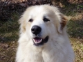Bild på Pyrenéerhund