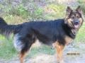 Bild på Chodský pes