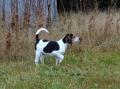 Bild på American foxhound