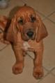 Bild på Blodhund