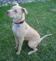 Bild på American pitbull terrier