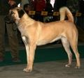 Bild på Anatolisk herdehund