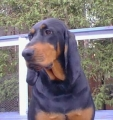 Bild på Black and tan coonhound