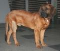 Bild på Hannoveransk viltspårhund