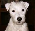 Bild på Parson russell terrier