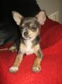Bild på Chihuahua