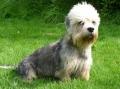 Bild på Dandie dinmont terrier