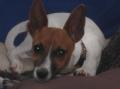 Bild på Tenterfield terrier