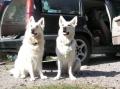 Bild på Vit herdehund