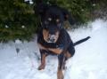 Bild på Rottweiler