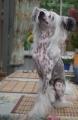 Bild på Chinese crested dog