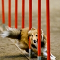Bild på Shetland sheepdog