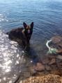 Bild på Tysk schäferhund