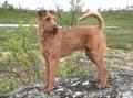 Bild på Irländsk terrier