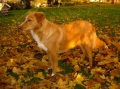 Nova scotia duck tolling retriever_3