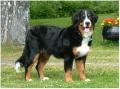 Bild på Berner sennenhund