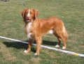 Nova scotia duck tolling retriever_1