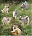 Bild på Isländsk fårhund
