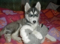 Bild på Siberian husky