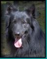 Bild på Hollandse herdershond