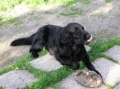 Bild på Flatcoated retriever