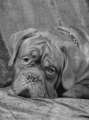 Dogue de bordeaux_1