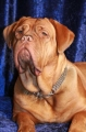 Dogue de bordeaux_3