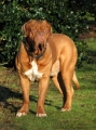 Dogue de bordeaux_2