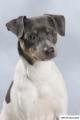 Bild på Terrier brasileiro